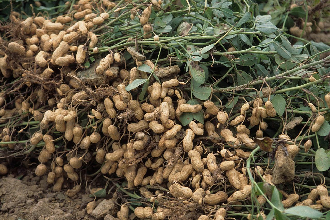Арахис - земляной орех