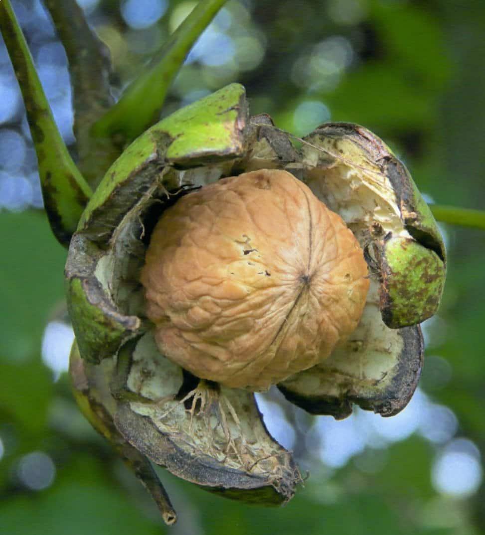 Грецкий орех сорт Урожайный