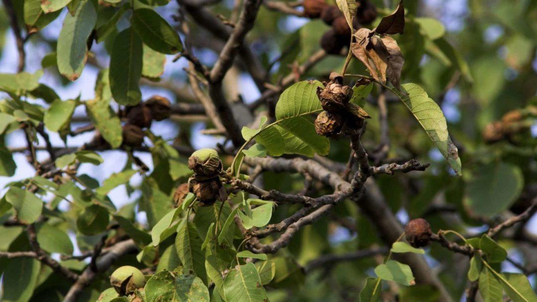 Дерево грецкого ореха и правила его выращивания