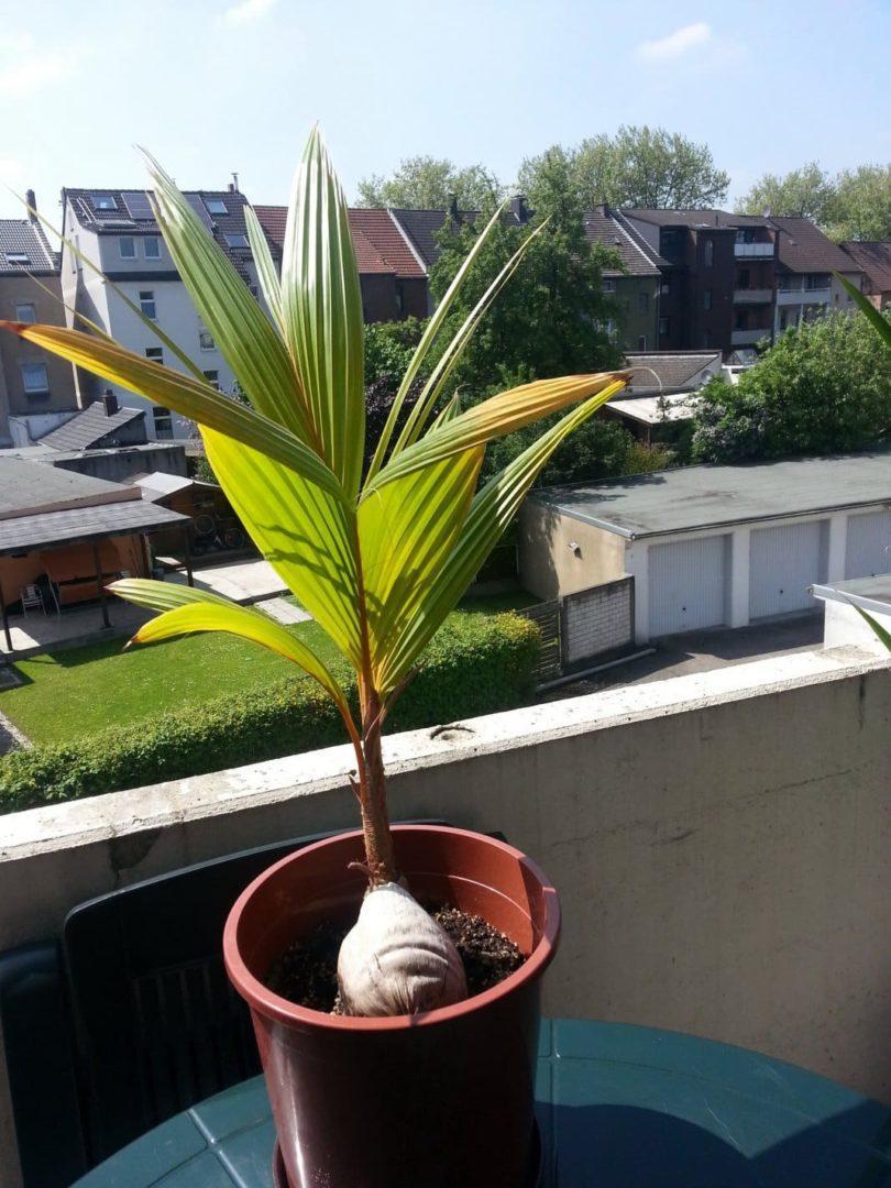 Выращивание кокоса