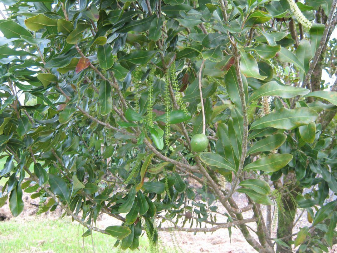 Как выглядит дерево макадамия