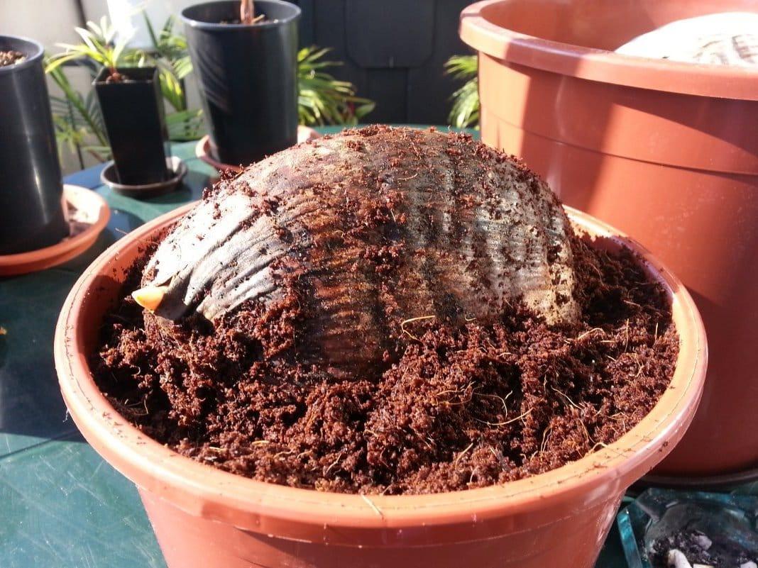 Посадка кокоса в торф