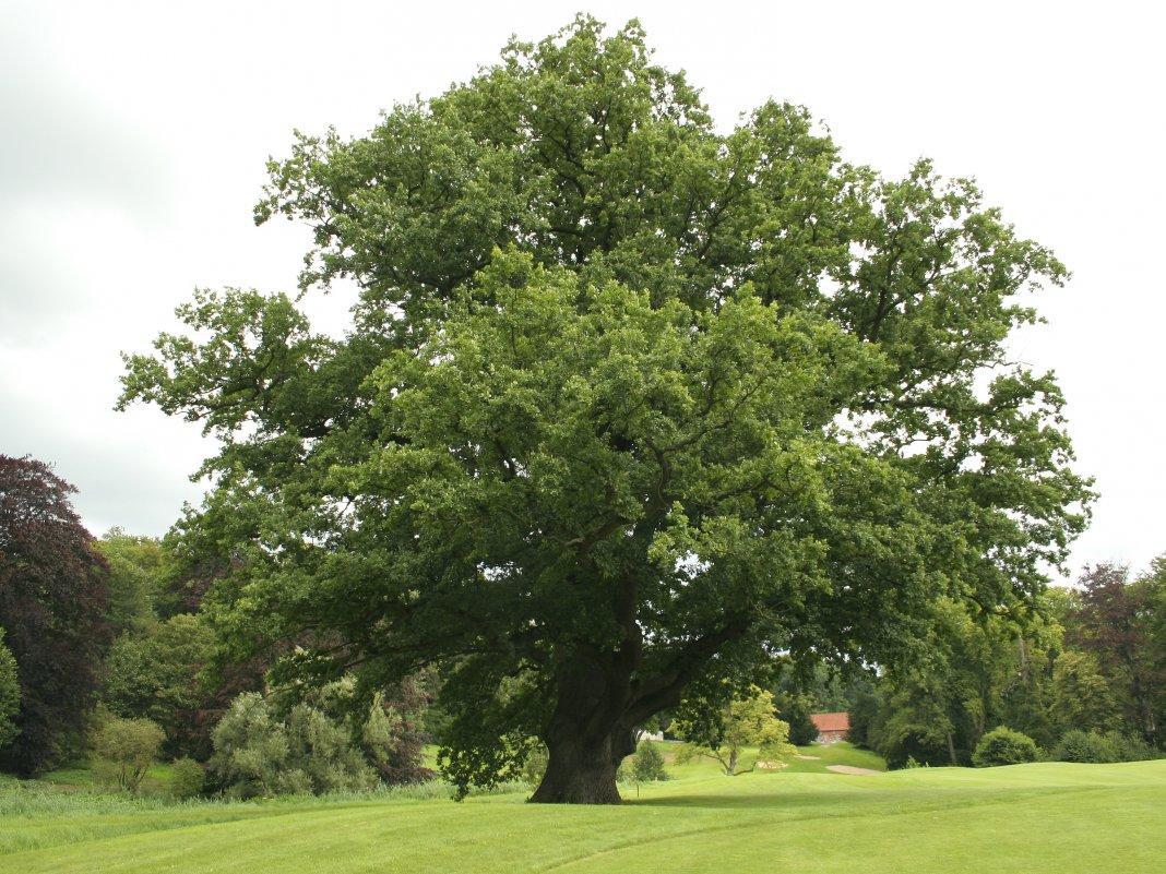 Место для посадки дуба
