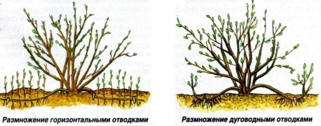 Размножение миндаля