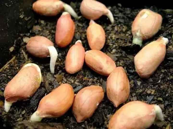 Выращивание арахиса дома