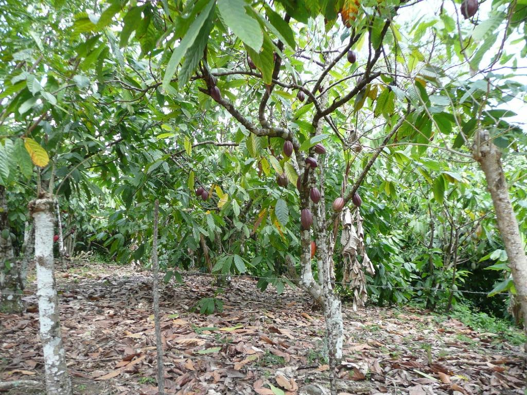 Где растет какао