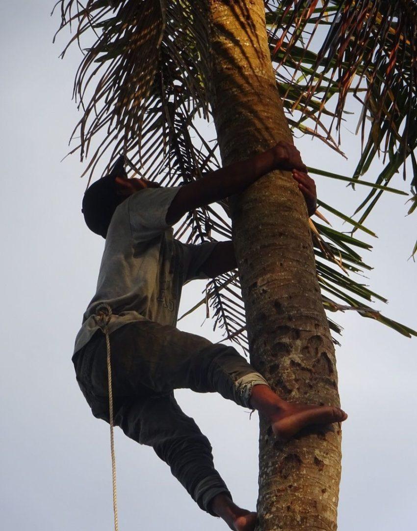 Сбор кокоса