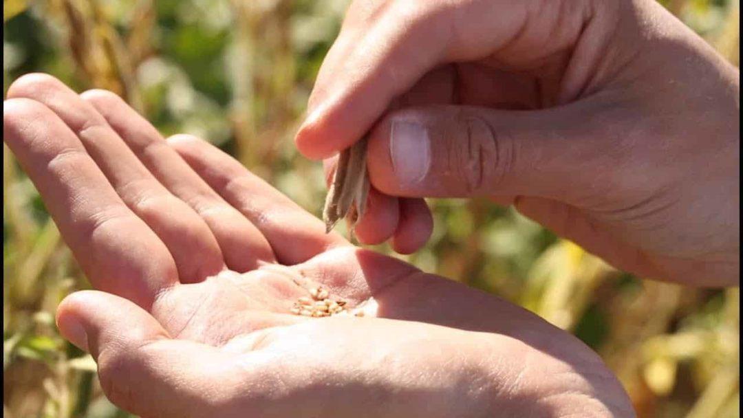 Семена кунжута в ладони