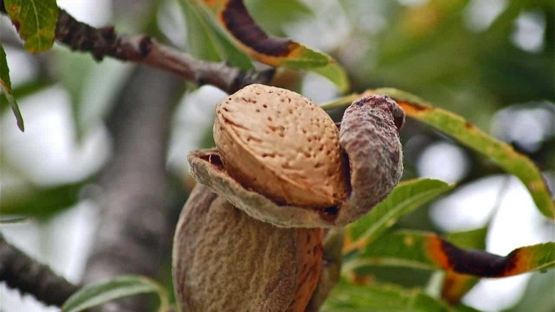 Миндальных орех