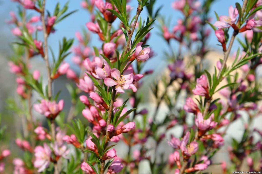 Цветущий кустарник миндаля