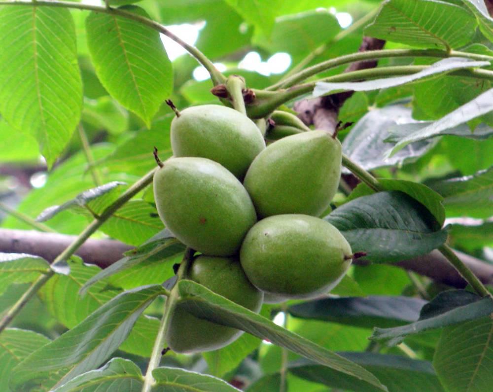 Описание маньчжурского ореха
