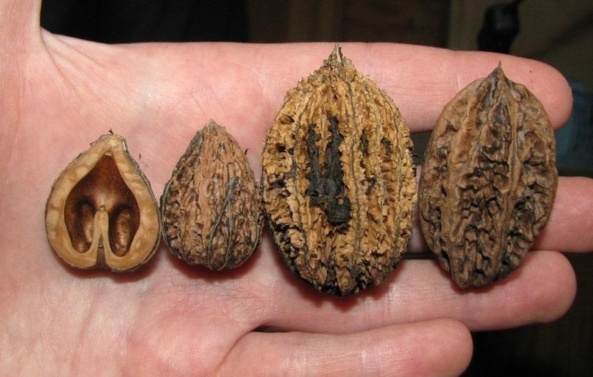Скорлупа маньчжурских орехов