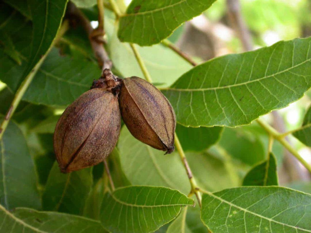 Маньчжурские орехи на ветке