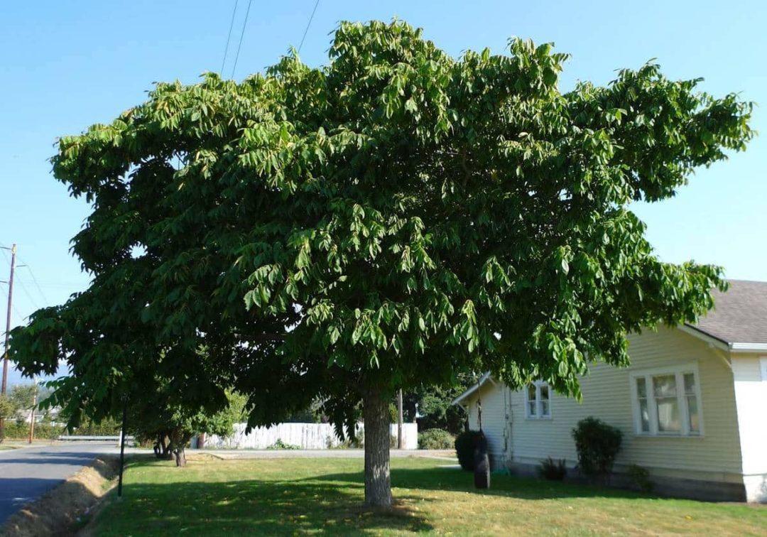 Дерево маньчжурский орех