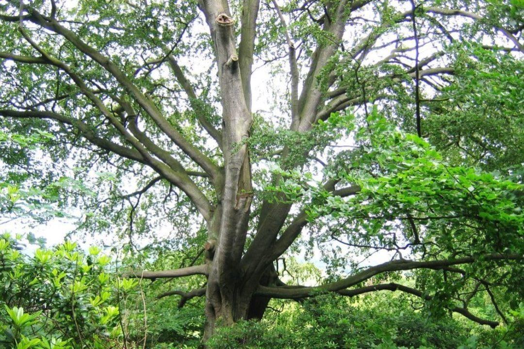 Буковое дерево