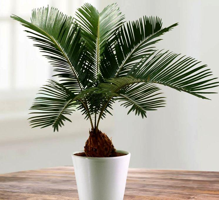 Комнатный кокос