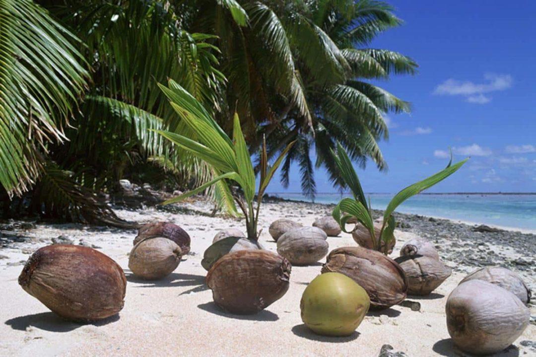 Выращивание пальмы из кокоса