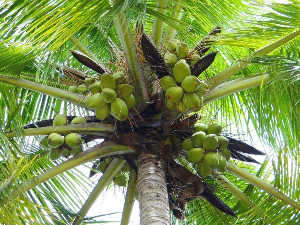 Пальма с зелеными кокосами