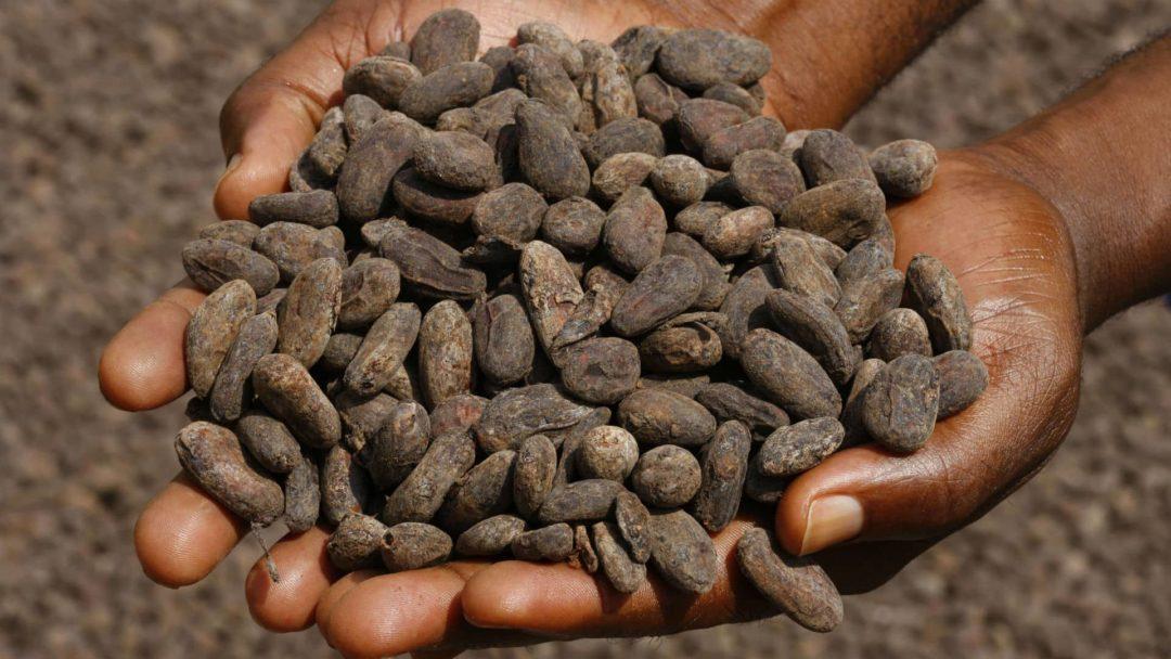 Свежесобранные какао-бобы
