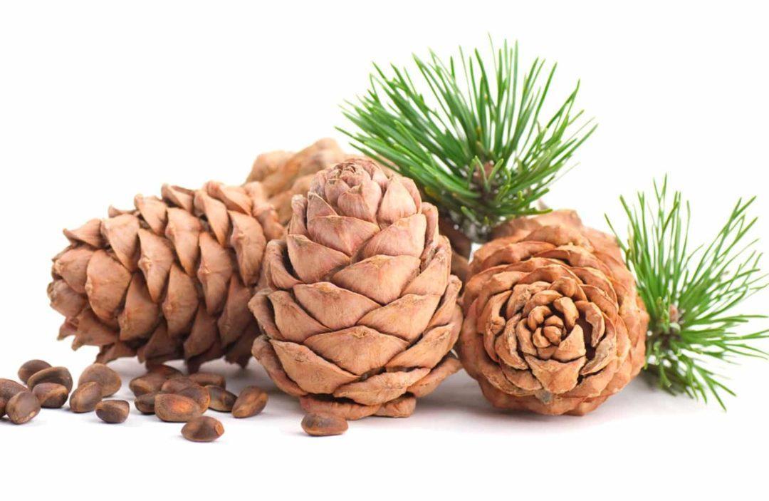 Скорлупа кедрового ореха и ее лечебные свойства