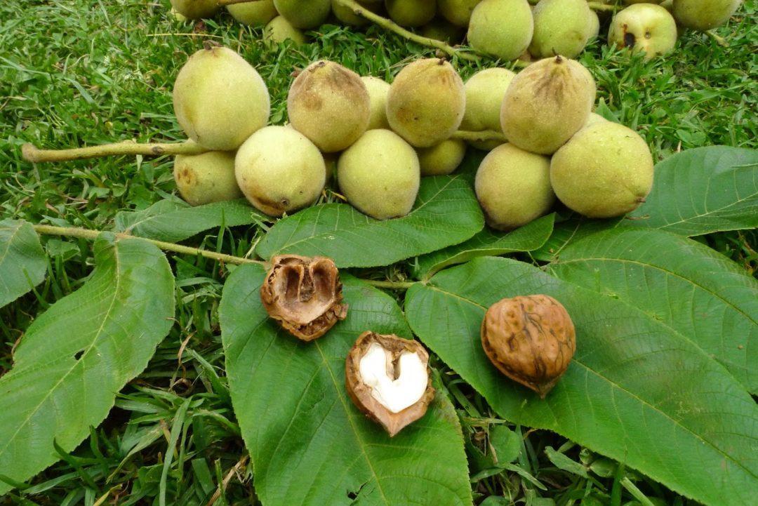 Плод маньчжурского ореха