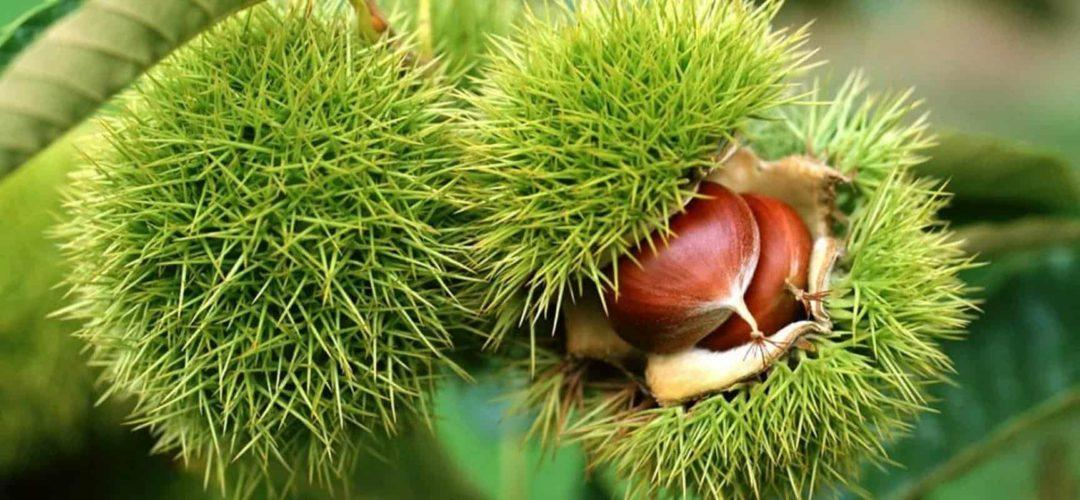 Каштановые деревья- как выглядит и как быстро растет, посадка и уход